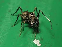 """Résultat de recherche d'images pour """"araignées toxeus magnus"""""""